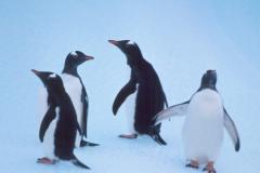 Gentoos on Ice