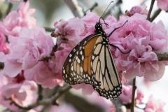 Monarch Butteryfly