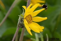 Arrow Balsamroot