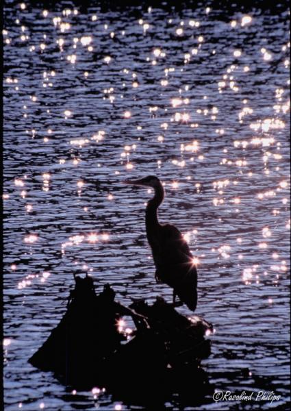Capitol Great Blue Heron