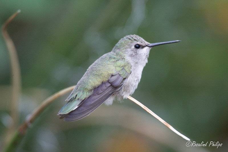Costas Hummingbird - Female