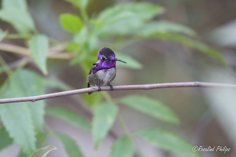 Costas Hummingbird - Male