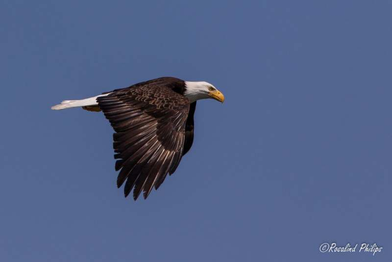 Bald Eagle - On A Mission