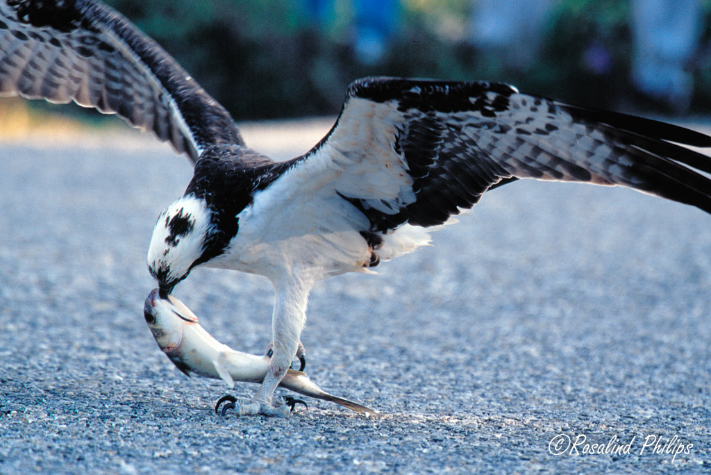 Osprey with mullet