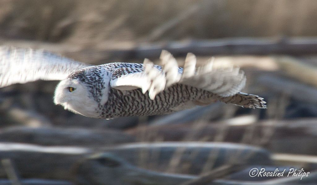 Snowy Owl Flight II