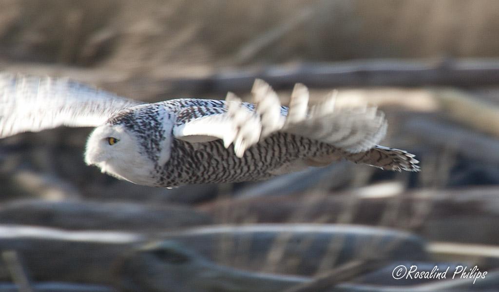 Snowy Owl Flight II