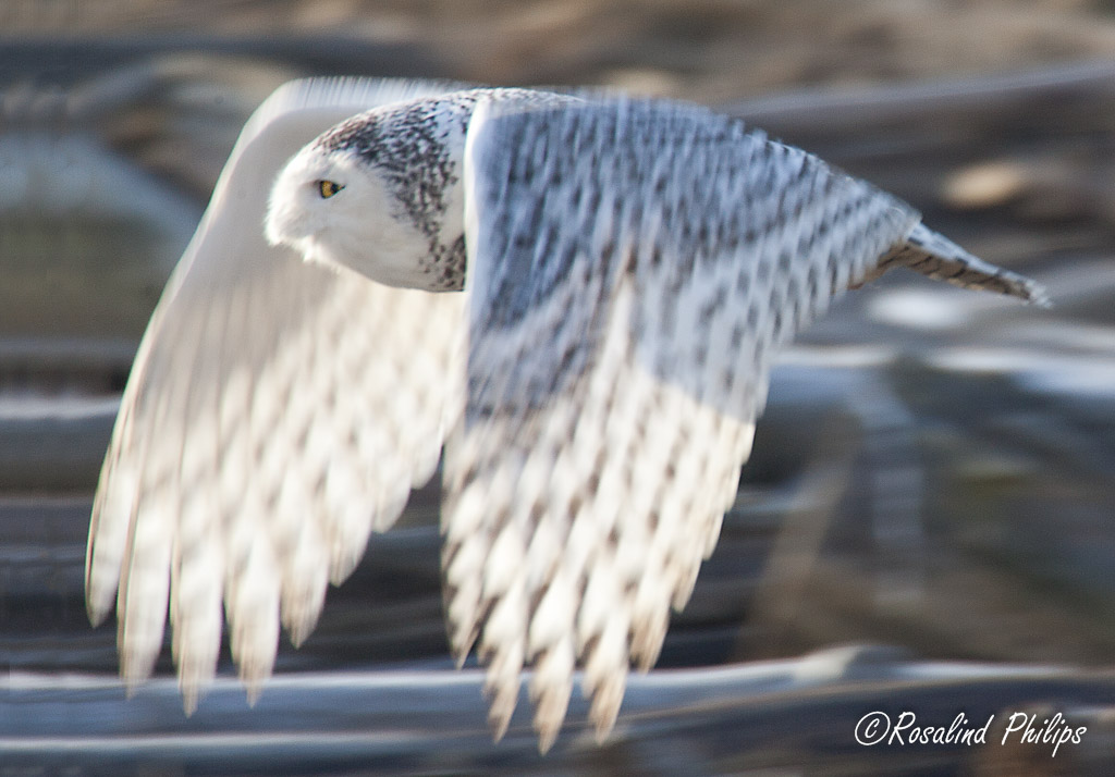 Snowy Owl Morning Light