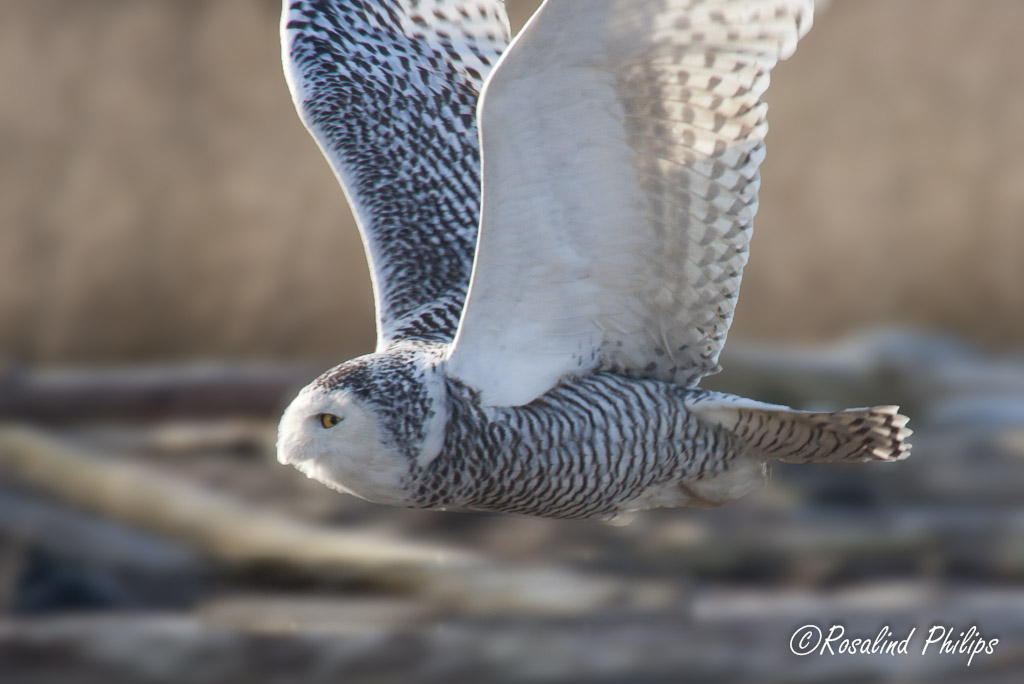 Snowy Owl Flight I
