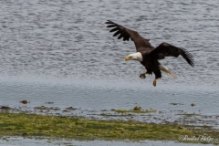 Bald Eagle with Midshipman Fish