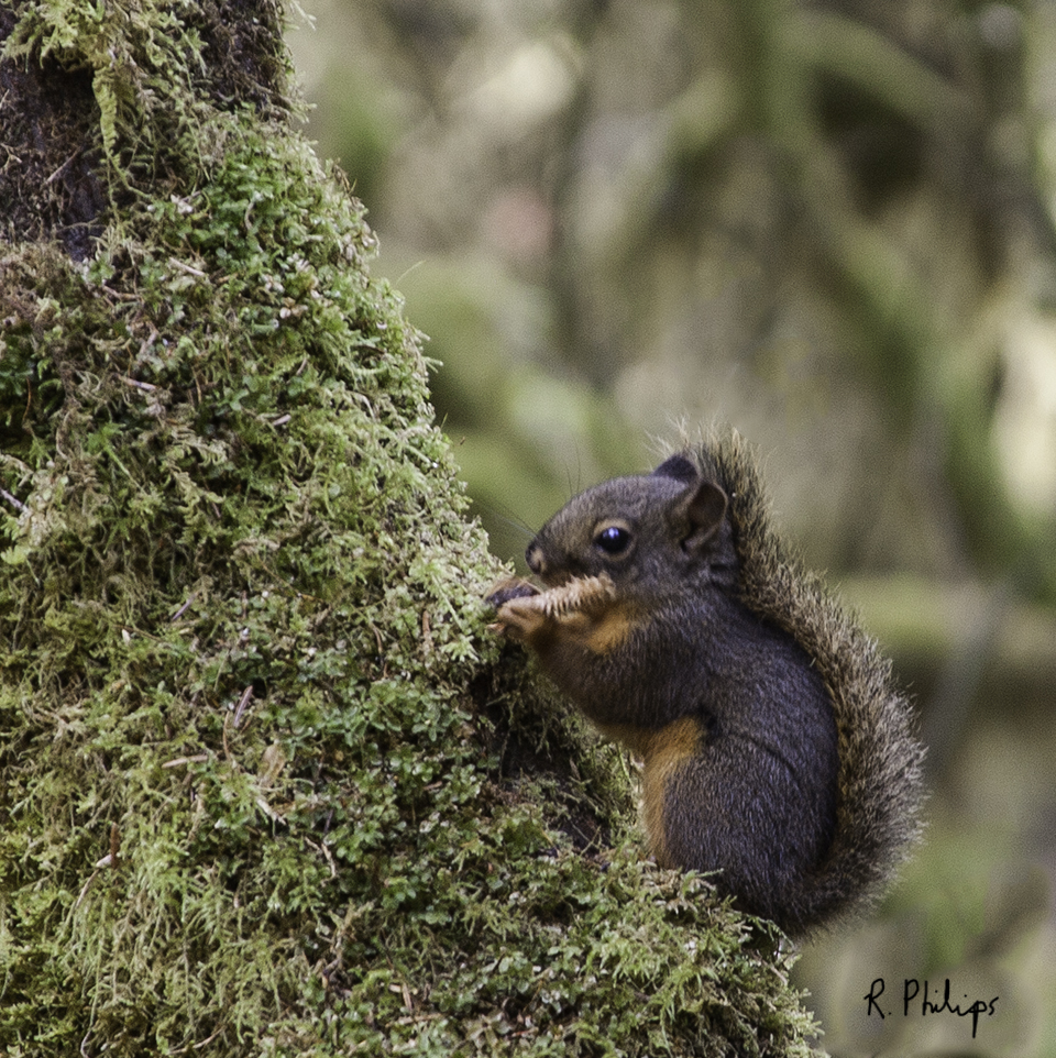 DougFirSquirrel_NH5W2104_4x4